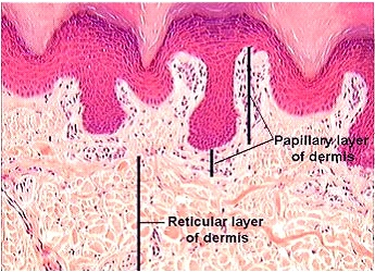 Dermis真皮層